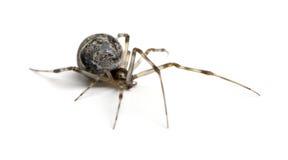 Common house spider - Achaearanea tepidariorum Royalty Free Stock Photos