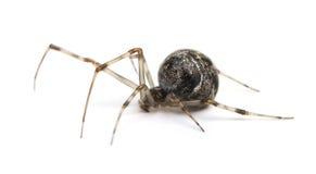 Common house spider - Achaearanea tepidariorum Stock Images