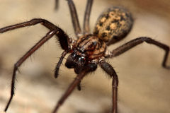 Common house spider (Tegenaria domestica) Royalty Free Stock Image