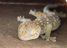 Common house Tropical Gecko climbing on wall (Hemidactylus frena Royalty Free Stock Photo