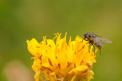 Common Housefly on a Dandelion Royalty Free Stock Photos