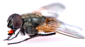 common housefly detail Stock Photos