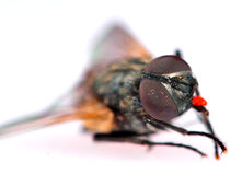 Common housefly detail Royalty Free Stock Images