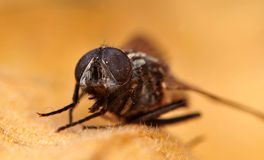 Common housefly detail Stock Image
