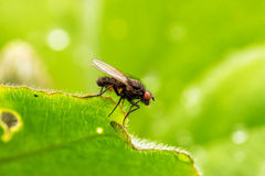 Common Housefly (Fly) Stock Photography