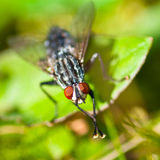 Common Housefly, Fly Royalty Free Stock Photography