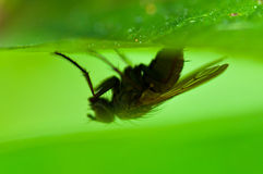 Common Housefly, Fly Upside Down Royalty Free Stock Image