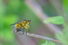 The common housefly lat. Musca domestica fruit fly lat. Diptera sitting on a branch Stock Image