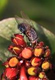 Common housefly macro. Beautiful shot of common housefly macro Stock Photo