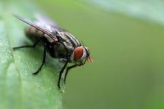 Common housefly macro Stock Photography