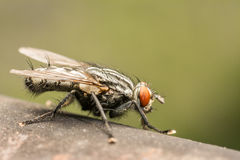 The Common Housefly Royalty Free Stock Photography