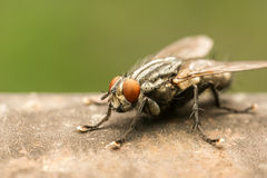 The Common Housefly Royalty Free Stock Photo