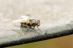 Common Housefly With Red Eyes royalty free stock photos