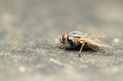 Common Housefly With Red Eyes Stock Photos