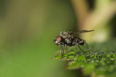 The common housefly sitting on a green leaf in drops of morning dew Royalty Free Stock Images