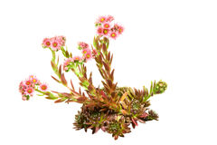 Common houseleek,sempervivum tectorum Royalty Free Stock Photo