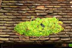 Common houseleek Sempervivum tectorum Stock Photos