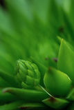 Common Houseleek, Sempervivum Tectorum, Plant of the alps. Royalty Free Stock Photos