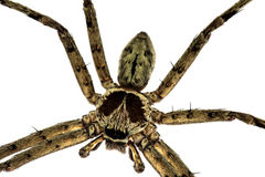 Common huntsman spider Royalty Free Stock Image