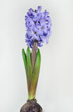 Common Hyacinth Royalty Free Stock Photos