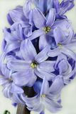 Common Hyacinth Stock Photography