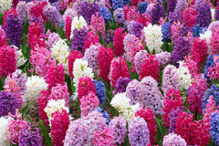Common hyacinth. The background of colorful common hyacinth flowers Royalty Free Stock Image