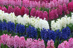 Common hyacinth Stock Photo