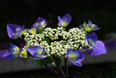 Common hydrangea Stock Photography