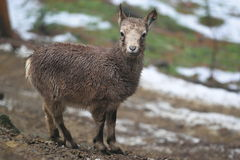 Common ibex Stock Photos