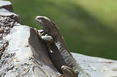 Common Iguana Climbing on a Rock Royalty Free Stock Image