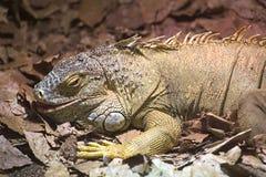 Common iguana (Iguana iguana) with an open mouth Royalty Free Stock Photo