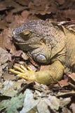 Common iguana (Iguana iguana) with an open mouth Royalty Free Stock Photography