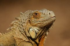 Common Iguana (Iguana iguana). This is the portrait of a lizard you can also call green iguana Stock Photo