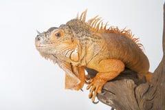 Common Iguana (red morph) close-up. Royalty Free Stock Photo