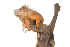 Common Iguana (red morph) sitting on a driftwood. Royalty Free Stock Photography
