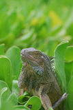 Common Iguana Sitting in a Bush Royalty Free Stock Photography