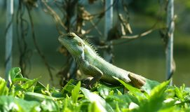 Common Iguanas royalty free stock photography