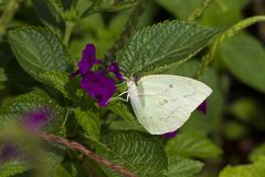 Common Immigrant Butterfly on Purple Flower. R shot during monsoons stock photography