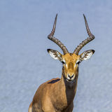 Common Impala in Kruger National park, South Africa Stock Photos