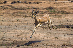Common Impala in Kruger National park, South Africa Royalty Free Stock Photos