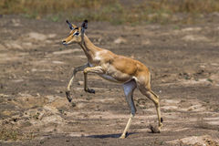 Common Impala in Kruger National park, South Africa Stock Photo