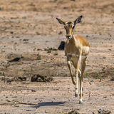Common Impala in Kruger National park, South Africa Stock Photography