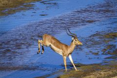 Common Impala in Kruger National park, South Africa. Specie Aepyceros melampus family of Bovidae royalty free stock image