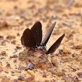 Common Indian Crow butterfly (Euploea core Lucus) Royalty Free Stock Photos
