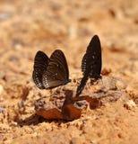 Common Indian Crow butterfly (Euploea core Lucus) Stock Photos