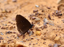 Common Indian Crow butterfly (Euploea core Lucus) Royalty Free Stock Images