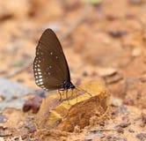 Common Indian Crow butterfly (Euploea core Lucus) Stock Image