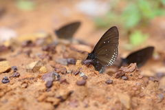 Common Indian Crow butterfly (Euploea core Lucus) Stock Images