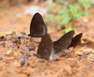 Common Indian Crow butterfly (Euploea core Lucus) Royalty Free Stock Photography