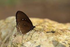 Common Indian Crow butterfly (Euploea core Lucus) Stock Photo